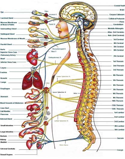 grand sympathetic nervous system
