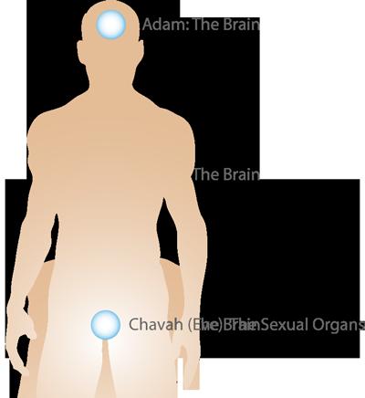 anatomy-adam-eve