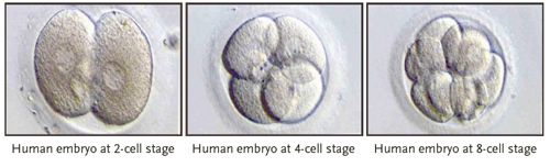 human embryo cells