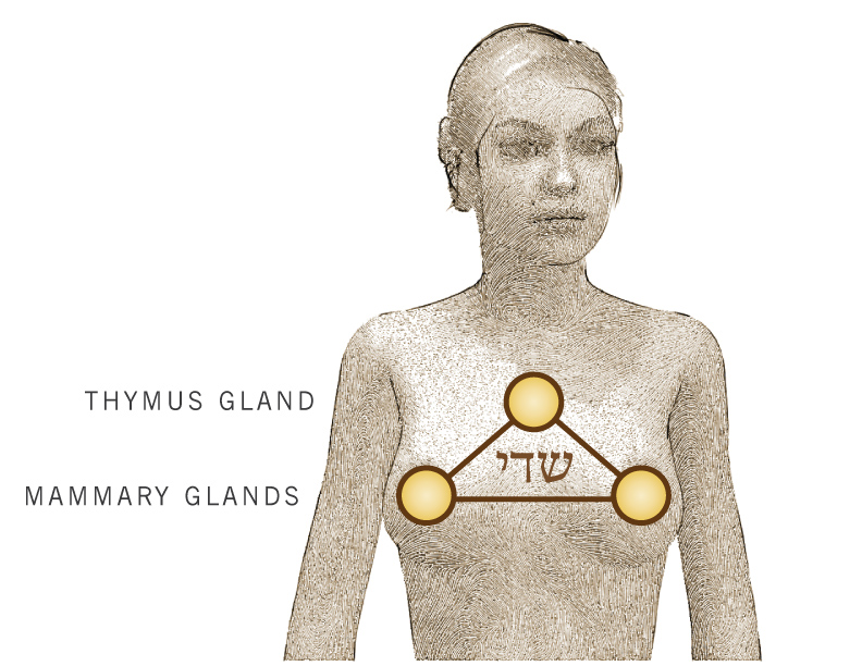 Thymus and Mammary Glands
