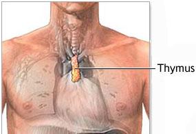 Thymus spleen